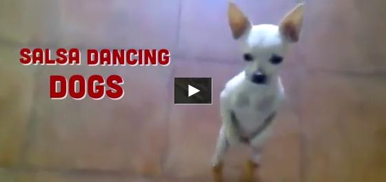 chihuahua dancing salsa friendship between two legged chihuahua and fluffy chicken 7150
